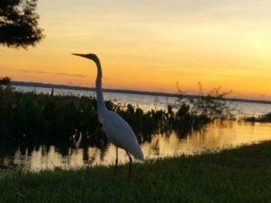 Water Fowl in Marsh Area