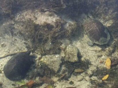 Turtles in the Creek