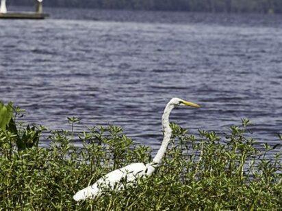 White egret wading in waterfront foliage